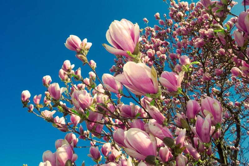 magnolia snoeien   infobron.nl