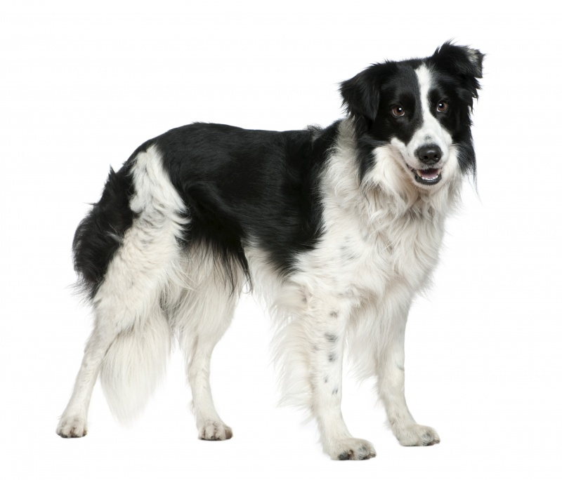 Border Collie, over het ras