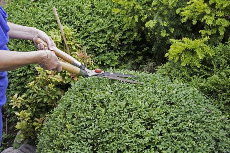 buxus snoeien met elektrische heggenschaar