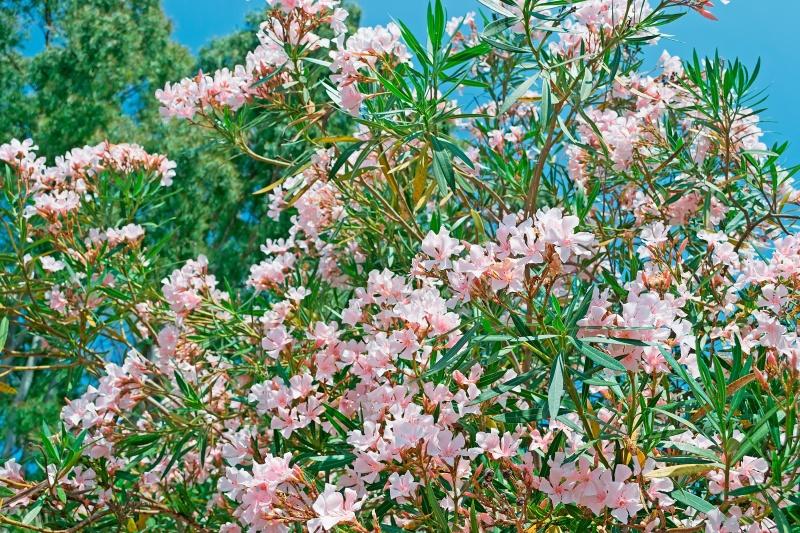 snoeien van oleander